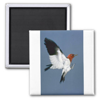 Red-headed Woodpecker in flight 2 Inch Square Magnet