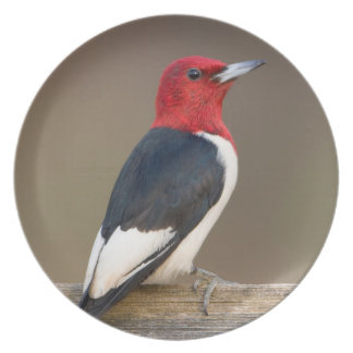 Red-headed Woodpecker on fence Dinner Plate