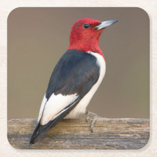 Red-headed Woodpecker on fence Square Paper Coaster