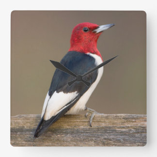 Red-headed Woodpecker on fence Square Wall Clock