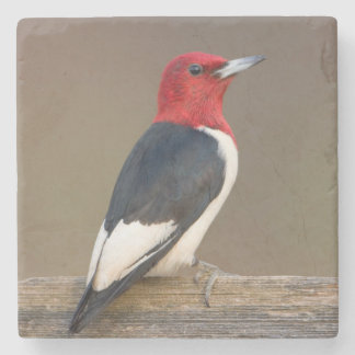 Red-headed Woodpecker on fence Stone Coaster