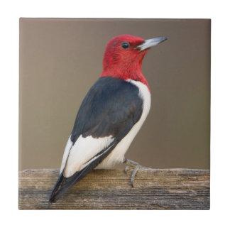 Red-headed Woodpecker on fence Tile