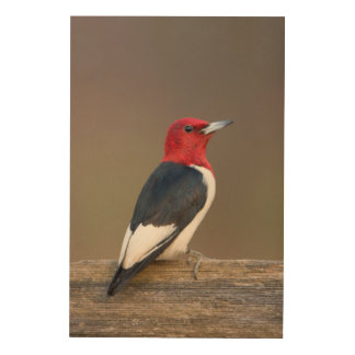 Red-headed Woodpecker on fence Wood Print