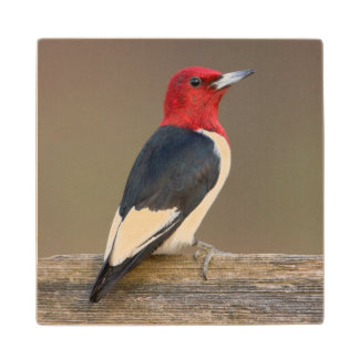 Red-headed Woodpecker on fence Wooden Coaster
