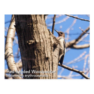 Red-headed Woodpecker Postcard