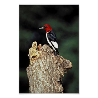 Red-headed woodpecker poster