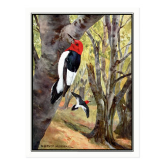 Red-Headed Woodpecker - Robert Bruce Horsfall Postcard