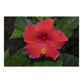 Red Hibiscus Posters