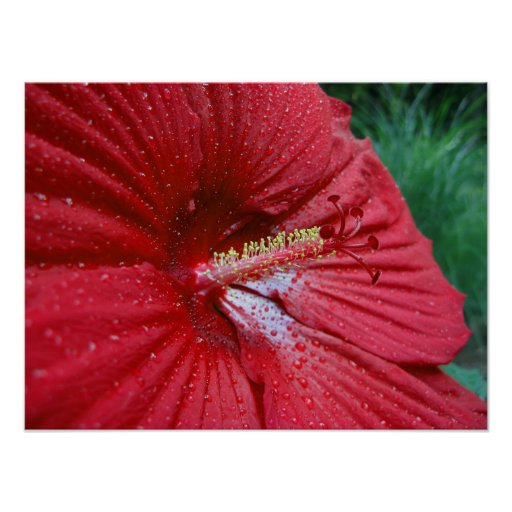 Red Hibiscus With Raindrops Print