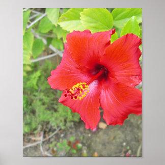 Red Hibiscus Yellow stigma Poster