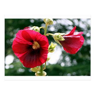 Red Hollyhock flowers in bloom Postcard