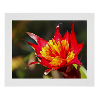 Red Hot Bromeliad Poster