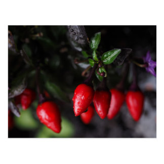 Red Hot Garden Salsa Chili Peppers. Postcard