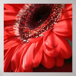 Red Hot Gerbera Poster