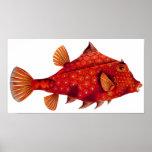 Red Humpback Turretfish Poster