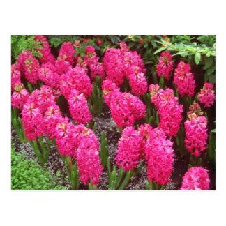 Red Hyancinthus orientalis Jan Box flowers Postcard