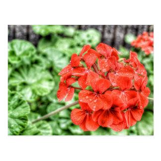 Red Hydrangea Postcard