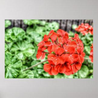Red Hydrangea Poster