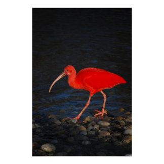 Red Ibis Poster
