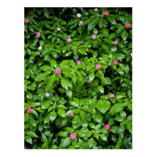 Red Impatient flowers, El Yunque Rainforest, Puert Postcard