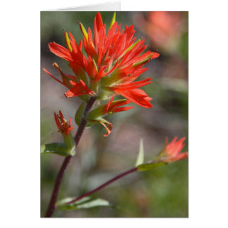 Red Indian Paintbrush Flower Card