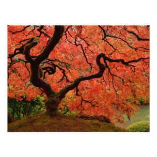 Red Japanese Maple Photographic Print
