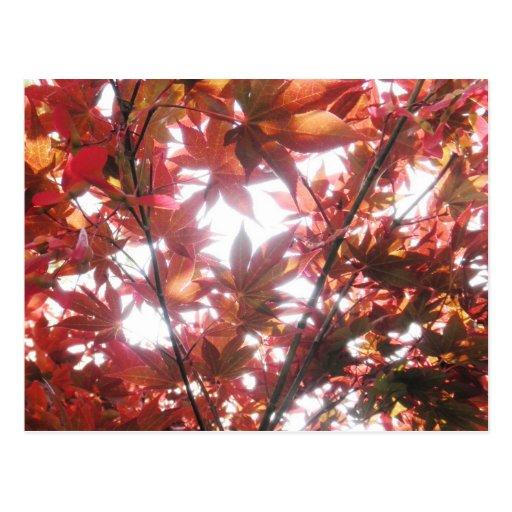Red Japanese Maple Tree Trees Leaves Photo Postcard