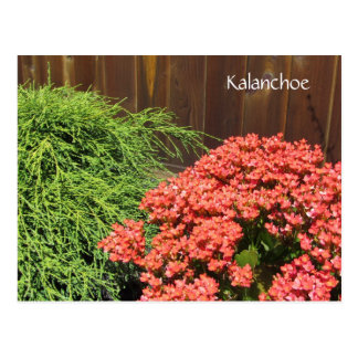 Red Kalanchoe Flowers Postcard