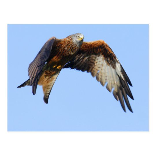 Red Kite Postcard