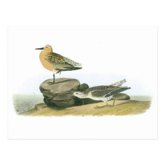 Red Knot by Audubon Postcard