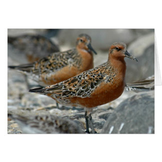 Red Knot Cards