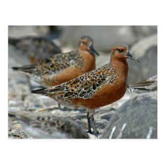 Red Knot Postcard