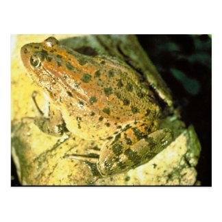 Red legged frog postcard
