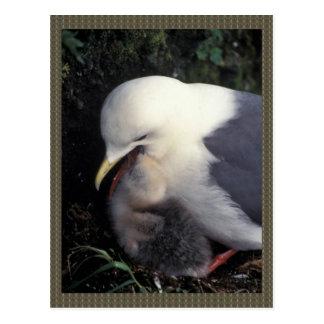 Red-legged Kittiwake Feeding Young Post Cards