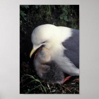 Red-legged Kittiwake Feeding Young Posters