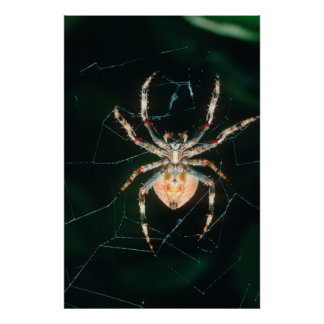Red-Legged Orb-Web Spider Posters
