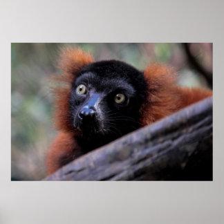 Red Lemur Wildlife Animal Photo Posters