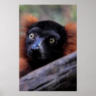Red Lemur Wildlife Animal Photo Print