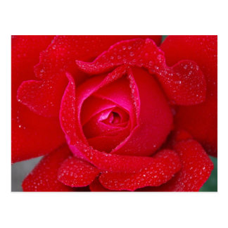 Red Lilac Rose Flower and Dew Gifts Postcard
