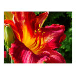 Red Lily Photograph Postcard