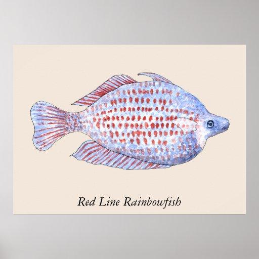 Red Line Rainbowfish. Watercolor Painting. Custom Posters