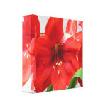 """Red Lion Amaryllis Wrapped Canvas 12""""x12"""" Gallery Wrap Canvas"""