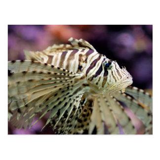 Red lionfish (Pterois volitans) Postcard