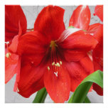 Red Lions Amaryllis 24x24 Poster or Framed Print