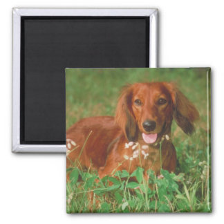 Red Long Haired Dachshund Magnet