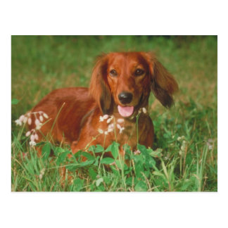 Red Long Haired Dachshund Postcard