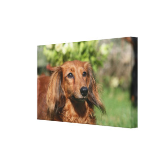 Red Long-haired Miniature Dachshund Canvas Print