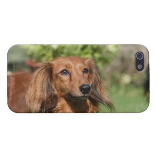 Red Long-haired Miniature Dachshund iPhone SE/5/5s Case