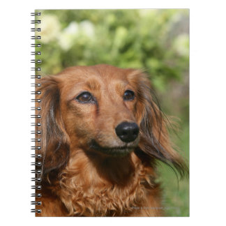 Red Long-haired Miniature Dachshund Notebook