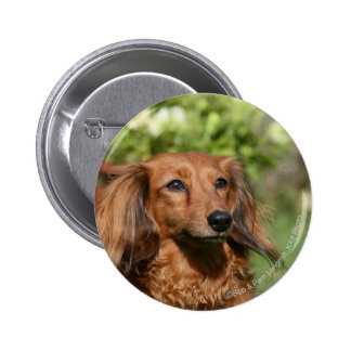 Red Long-haired Miniature Dachshund Pinback Button